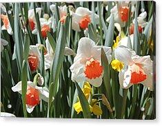 Daffodils Acrylic Print by Felix Zapata