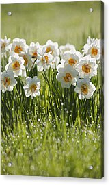 Daffodils In The Dew Covered Grass Acrylic Print by Susan Dykstra