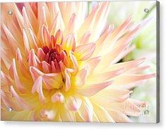 Dahlia Flower 01 Acrylic Print by Nailia Schwarz