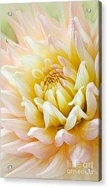 Dahlia Flower 03 Acrylic Print by Nailia Schwarz