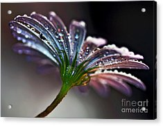Daisy Abstract With Droplets Acrylic Print by Kaye Menner