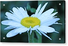 Daisy After The Rain Acrylic Print by Becky Lodes