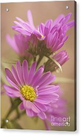 Daisy Acrylic Print by LHJB Photography