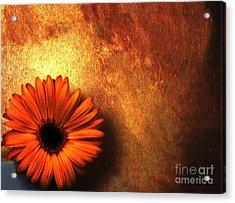 Daisy In A Corner Acrylic Print by Marsha Heiken