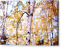 Dancing Birches Acrylic Print by Jenny Rainbow