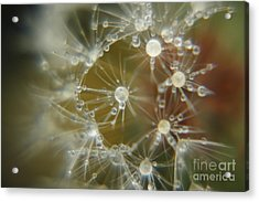 Dandelion Seeds Acrylic Print by Yumi Johnson