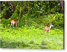 Deer On The North Of St. Croix Acrylic Print by David Alexander
