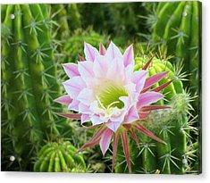 Delicate Bloom Acrylic Print by FeVa  Fotos