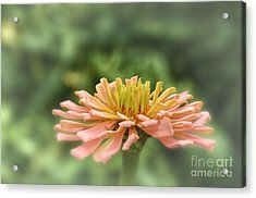 Delicate Pedals Acrylic Print by Tamera James