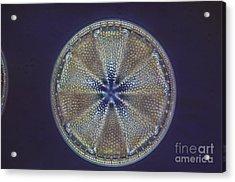 Diatom - Actinoptychus Heliopelta Acrylic Print by Eric V. Grave