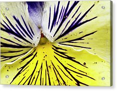 Dirty Pansy Acrylic Print by Jennifer Smith
