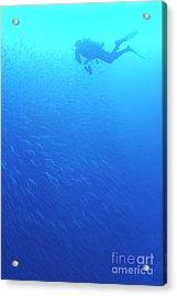 Diver By School Of Pelican Barracudas Acrylic Print by Sami Sarkis