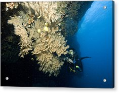 Diver Next To A Coral Fan Sheltering Acrylic Print by Tim Laman