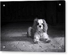 Dog Black And White Acrylic Print by Jane Rix