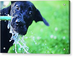 Dog Drinking From A Water Hose Acrylic Print by Crissy Kight / www.dearcrissy.com