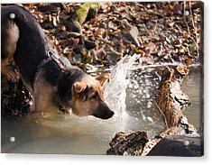 Dog In River Acrylic Print by Odon Czintos