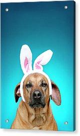 Dog Portrait Wearing Easter Bunny Ears Acrylic Print by Jade Brookbank
