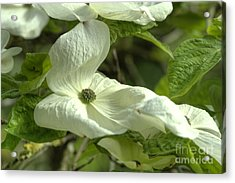 Dogwood Acrylic Print by Rod Wiens