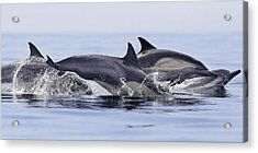Dolphins At Play Acrylic Print by Steve Munch
