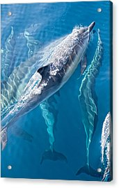 Dolphins Life Acrylic Print by Steve Munch