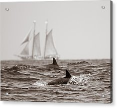 Dolphins With Ship Acrylic Print by Will Edwards
