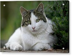 Domestic Cat Felis Catus Portrait Acrylic Print by Cyril Ruoso
