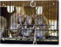 Domestic Rats At The Sutton Avian Acrylic Print by Joel Sartore