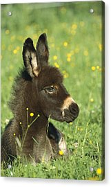 Donkey Equus Asinus Foal Resting Acrylic Print by Konrad Wothe