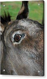 Donkey Stink Eye Acrylic Print by LeeAnn McLaneGoetz McLaneGoetzStudioLLCcom
