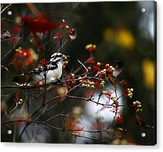 Downy Woodpecker And White Berries Acrylic Print by Scott Hovind