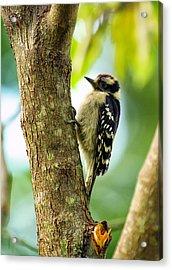 Downy Woodpecker On Tree Acrylic Print by Bill Tiepelman