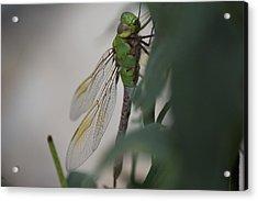 Dragonfly Acrylic Print by Michel DesRoches