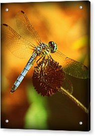 Dragonfly On A Dried Up Flower Acrylic Print by Tam Graff