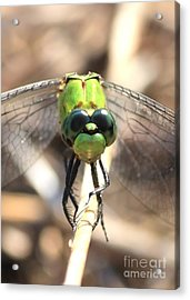 Dragonfly Perspective Acrylic Print by Carol Groenen