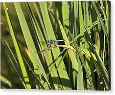 Dragonfly Acrylic Print by Ron Sgrignuoli