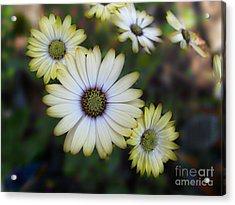 Dream Daisy Acrylic Print by Arlene Carmel