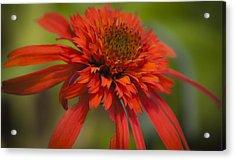 Dreamy Hot Papaya Coneflower Bloom Acrylic Print by Teresa Mucha
