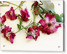 Dried Beauty Roses Acrylic Print by Marsha Heiken