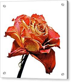 Dried Rose Acrylic Print by Bernard Jaubert
