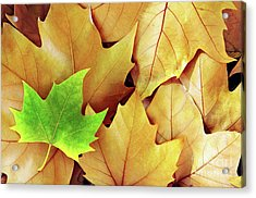Dry Fall Leaves Acrylic Print by Carlos Caetano