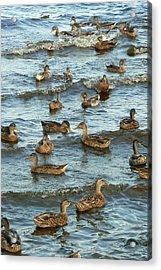 Duck Convention Acrylic Print by Seiko Ti