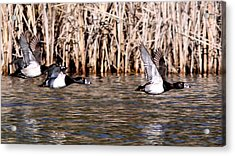 Ducks - Ring Neck - Hold Up Acrylic Print by Travis Truelove
