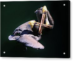 Dueling Pelicans Acrylic Print by Paulette Thomas