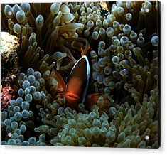 Dusky Anenomefish Acrylic Print by Brian Governale