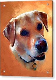 Dusty Labrador Dog Acrylic Print by Robert Smith