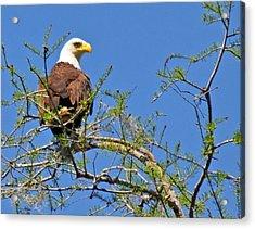 Eagle On Watch Acrylic Print by Kathy Ricca