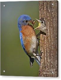 Eastern Bluebird Feeding Chick Acrylic Print by Susan Candelario