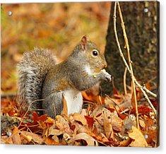 Eastern Grey Squirrel Acrylic Print by Andrew McInnes