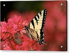 Eastern Yellow Tiger Swallowtail And Azaleas Acrylic Print by Lara Ellis