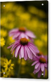 Echinacea Dreamy Acrylic Print by Mike Reid